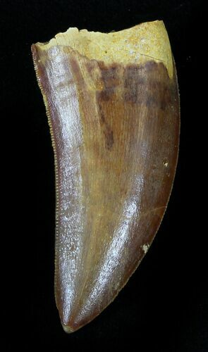 "Serrated 1.71"" Carcharodontosaurus Tooth"
