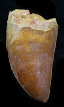 "Serrated 2.14"" Carcharodontosaurus Tooth - Mahogany Colored For Sale, #32408"