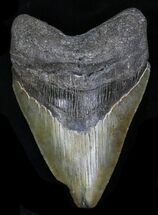 "Buy 4.14"" Megalodon Tooth - Georgia - #32650"