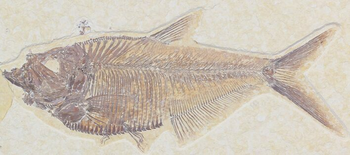 "Detailed 6.1"" Diplomystus Fish Fossil From Wyoming"