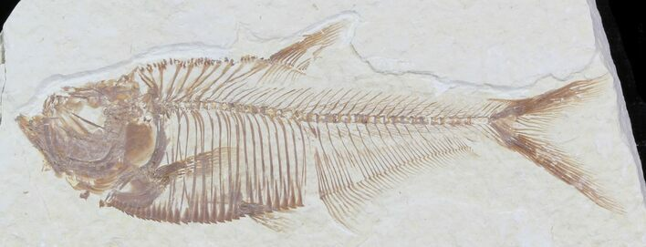 "3"" Diplomystus Fossil Fish - Wyoming"