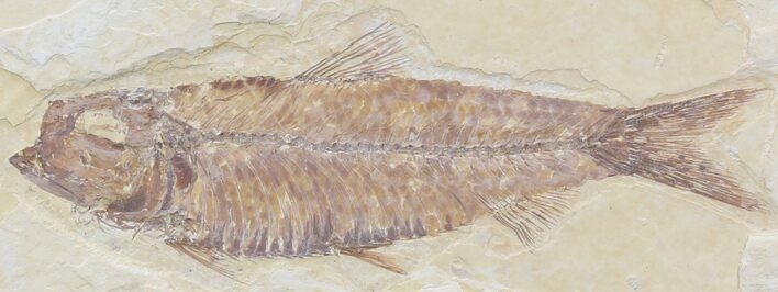 "3.7"" Knightia Fossil Fish - Wyoming"