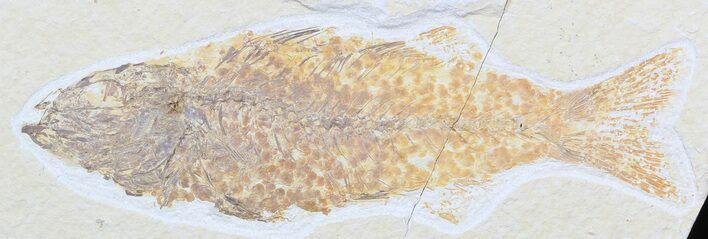 "Bargain 5.8"" Mioplosus Fossil Fish - Uncommon Species"