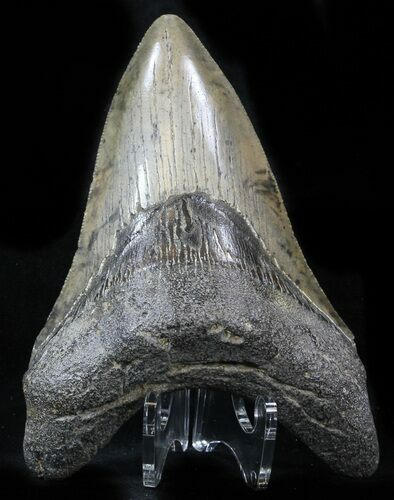 "4.70"" Lower Megalodon Tooth - South Carolina"