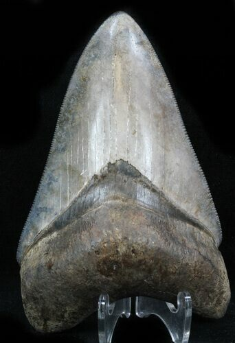 "Serrated, 3.85"" Megalodon Tooth - Georgia"