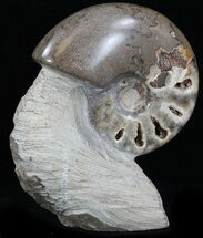 "4.5"" Polished Shloenbacchia Ammonite With Stone Base For Sale, #35315"