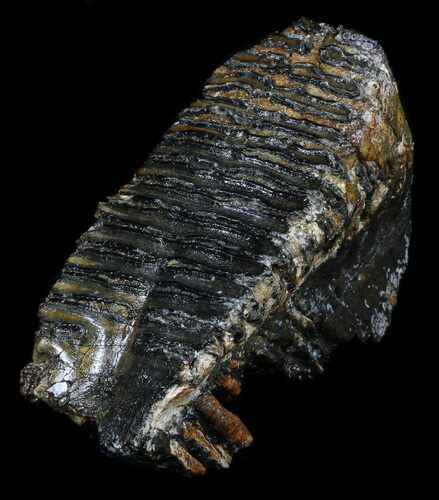 Juvenile Woolly Mammoth Molar - North Sea Deposits