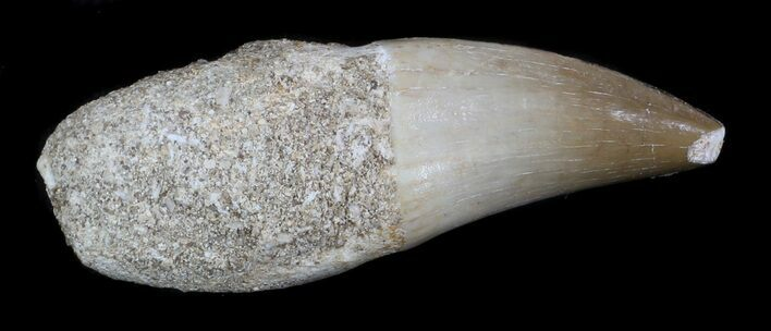 "1.95"" Partially Rooted Mosasaur (Eremiasaurus) Tooth"