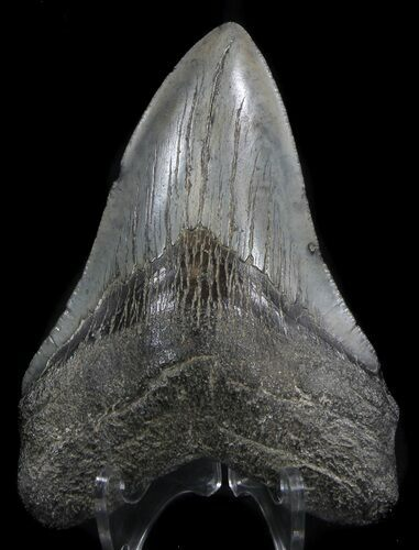 "4.40"" Fossil Megalodon Tooth - South Carolina"