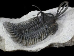 "Buy Excellent 2.75"", Short-Trident Walliserops Trilobite  - #36172"