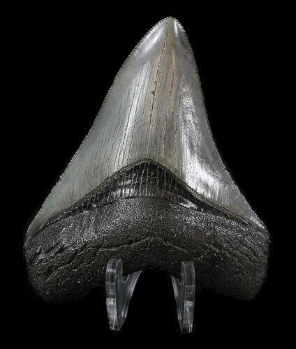 "Serrated, 3.51"" Fossil Megalodon Tooth - Beautiful Tooth"