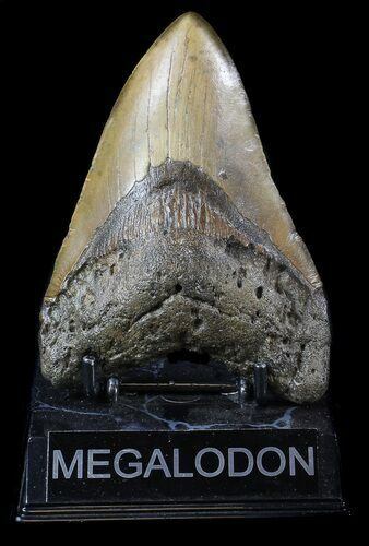 "Bargain, 5.06"" Megalodon Tooth - North Carolina"