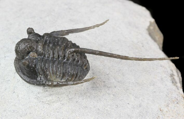 Well Preserved Cyphaspis Eberhardiei Trilobite - 1.3""