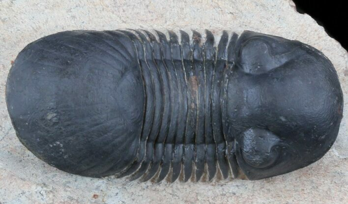 "2.65"" Paralejurus Trilobite - Atchana, Morocco"
