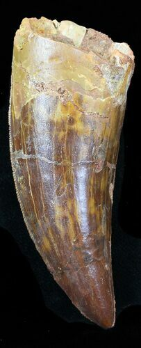 "Large, 2.91"" Carcharodontosaurus Tooth"
