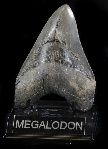 "Serrated, 4.98"" Megalodon Tooth - Georgia"