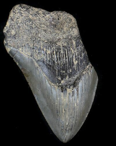 "Partial, 4.11"" Megalodon Tooth - South Carolina"