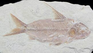 "Large 5.9"" Nematonotus Fossil Fish - Lebanon For Sale, #36944"