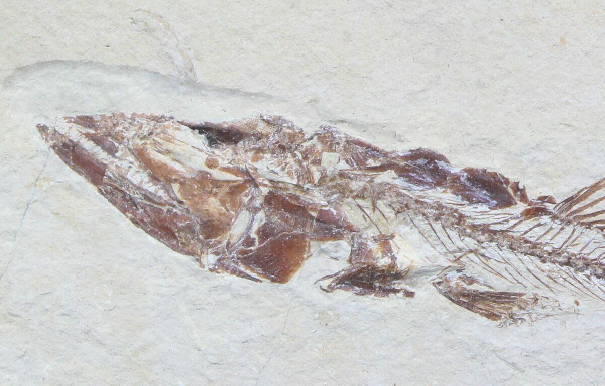 Superb eurypholis fossil fish lebanon for sale for Fish fossils for sale