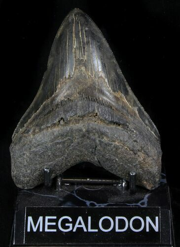 "Serrated, 4.83"" Megalodon Tooth - Georgia"