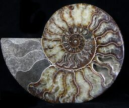 Cleoniceras cleon - Fossils For Sale - #37146
