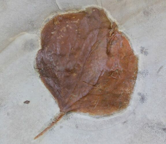 "1.8"" Fossil Leaf (Zizyphoides flabellum) - Montana"