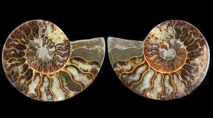 "3.6"" Sliced Fossil Ammonite Pair - Agatized"