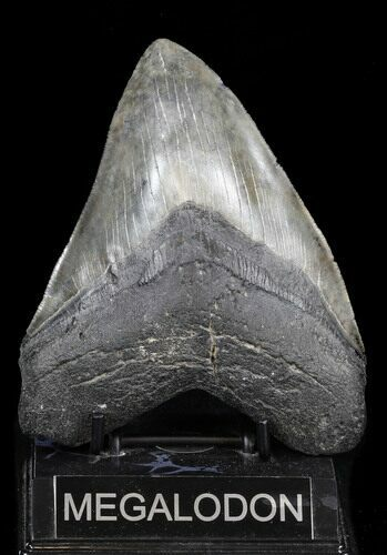 "Large 5.43"" Megalodon Tooth - Georgia"