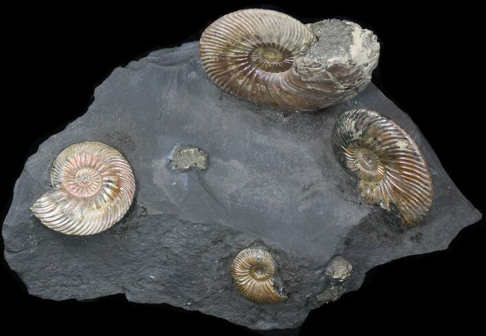 "Iridescent Ammonite Fossils Mounted In Shale - 5.7""x3.5"""
