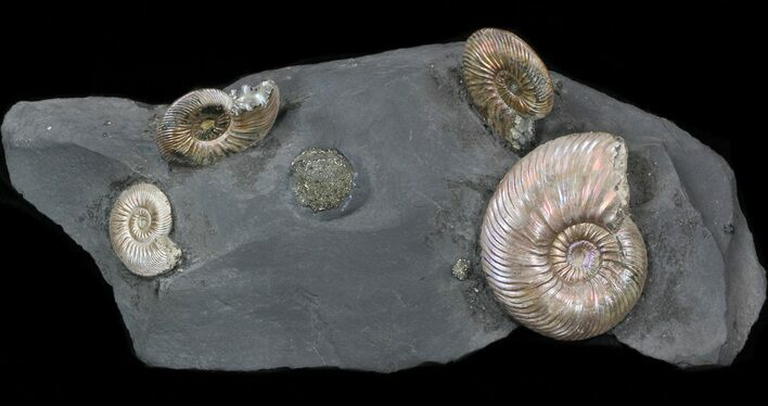 "Iridescent Ammonite Fossils Mounted In Shale - 7""x3"""