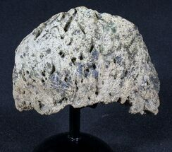 Buy Triceratops Epijugal (Armored Cheek Plate) On Stand - #39142