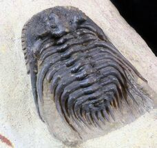 "Detailed 1.4"" Leonaspis Trilobite - Laatchana, Morocco For Sale, #39386"