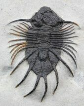 Acanthopyge sp. - Fossils For Sale - #39450