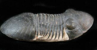 "Buy 2.5"" Paralejurus Trilobite - Very Little Matrix - #39454"