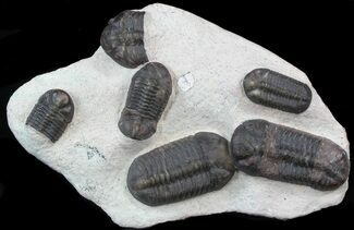 Struveaspis bignoni - Fossils For Sale - #39465