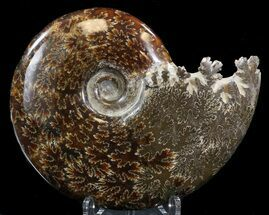 "5""  Cleoniceras Ammonite Fossil - Madagascar For Sale, #39491"