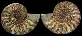 Cleoniceras cleon - Fossils For Sale - #39492