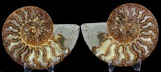 Cleoniceras cleon - Fossils For Sale - #39504