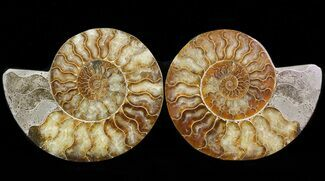 Cleoniceras cleon - Fossils For Sale - #39501