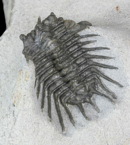 ".8"" Undescribed Odontopleurid (aff. Laethoprusia) Trilobite"
