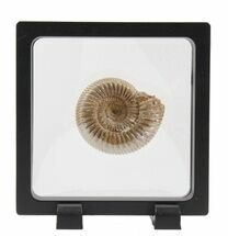 Perisphinctes - Fossils For Sale - #40008