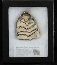 "Buy 2.4"" Mammoth Molar Slice - South Carolina - #40099"