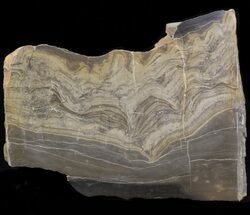 "Buy 4.8"" Devonian Stromatolite Slab - Orkney, Scotland - #40120"