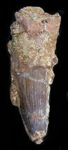 "Buy Huge 4.68"" Spinosaurus Tooth - Matrix Still Attached - #40327"