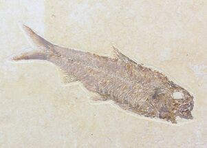 "Buy Detailed, 4.45"" Knightia Fossil Fish - Wyoming - #40498"