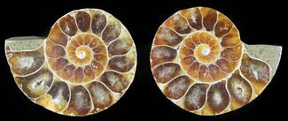"Small Desmoceras Ammonite Pair - 1.3"" For Sale, #40565"