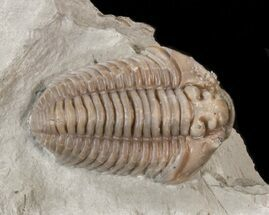 "Inflated, 1.18"" Flexicalymene Trilobite - Ohio For Sale, #40667"