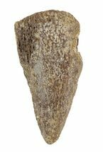 Thescelosaurus garbanii - Fossils For Sale - #40761