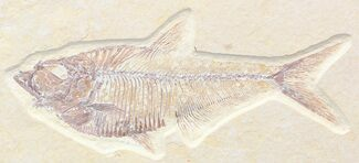 "Buy Nice, 4.7"" Diplomystus Fossil Fish - Wyoming - #41056"