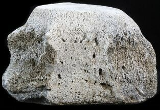 "Large, 6.8"" Fossil Whale Vertebrae - Yorktown Formation For Sale, #40957"